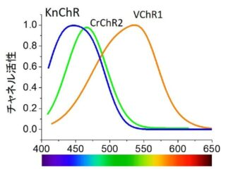 名工大ら,藍色光応答のチャネルロドプシンを発見