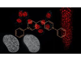 名大,多くの生物で使えるDNA染色蛍光色素を開発