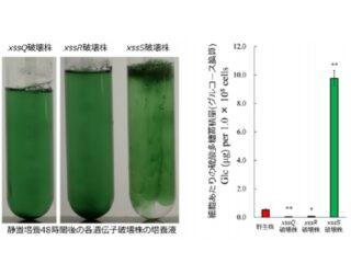 農大ら,光合成生物の硫酸多糖の合成・調節を解明