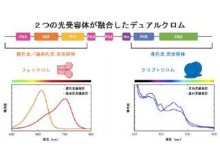 理研ら,三種の光を感知する光受容体を発見
