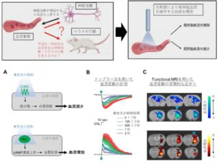 慶大ら,光遺伝学で脳内血流の操作に成功