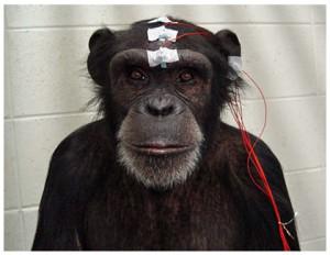 京大、脳波測定によりチンパンジーも他者の表情を素早く察知することを発見