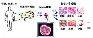 東北大が発見した多能性幹細胞(Muse細胞)及び,その分離方法に関する基本的な特許が成立