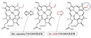 立命館大、赤外光線を吸収するクロロフィルを光合成生物が生産する仕組みを発見