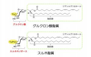 理研、植物のリン欠乏ストレスを緩和する新しい糖脂質を発見