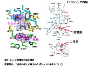 東大と京都工繊大、アフリカ睡眠病治療薬の候補化合物と標的タンパク質との複合体構造の解明