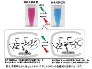 豊橋技科大ら,光合成を行う藻類の分子光スイッチの作動機構を解明