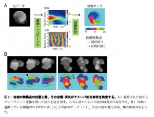 東大、アメーバ細胞の自由自在な形状を決定する仕組みを解明