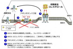 京大、善玉コレステロール産生の初期段階の可視化に成功