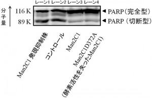 理研、糖鎖を分解する酵素「Man2C1」に新たな機能を発見