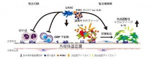 名大、低血清培養脂肪由間葉系幹細胞は抗炎症効果を果たすことを証明