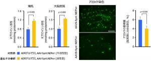 理研ら,アルツハイマー病の血管からの投与による遺伝子治療実験に成功