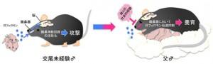 理研,マウスが父性行動を発現する神経機構の一端を明らかに