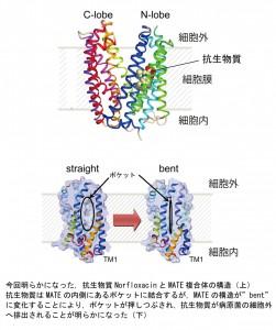 東大、多剤排出輸送体の構造・機能解明と薬剤候補の発見
