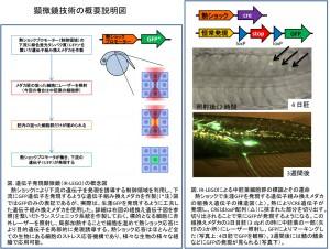 東大、ウロコやヒレが中胚葉細胞由来であること発表