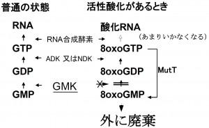 九大、活性酸素などから遺伝物質を守る仕組みを解明
