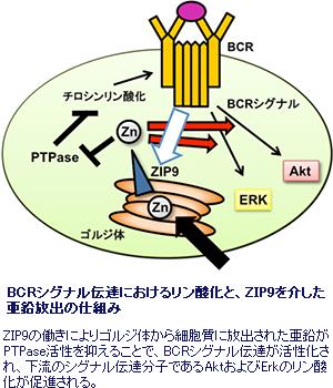 理研、 亜鉛トランスポーターZIP9が免疫細胞のシグナル伝達に関与することを発見