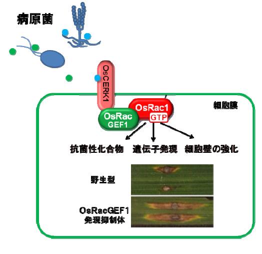 NAIST,病原菌に対する植物の免疫スイッチがONになる瞬間の可視化に成功