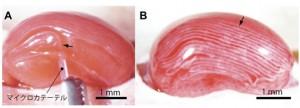 JSTと東大,立体細胞組織構築の材料となる細胞ファイバを開発