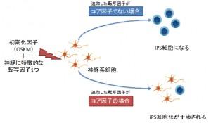京大、初期化における遺伝子の働きを評価するiPS干渉法を開発
