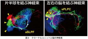 東大、昆虫脳の神経回路の基本構造を解明