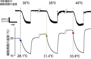 """生理学研、周囲の温度で""""冷たさセンサー""""の冷たさの感じ方が変わる仕組みを解明"""