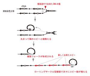 遺伝学研、遺伝子の爆発的増加に関わる遺伝子を発見