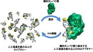 理研など、人工塩基を用いてDNAの機能向上を証明