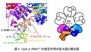 理研と東大、21番目のアミノ酸「セレノシステイン(Sec)」の合成メカニズムを解明