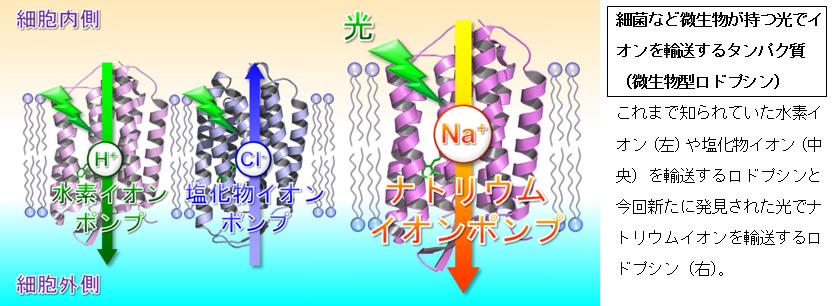 名工大と東大、光でナトリウムイオンを輸送するポンプ型タンパク質を発見