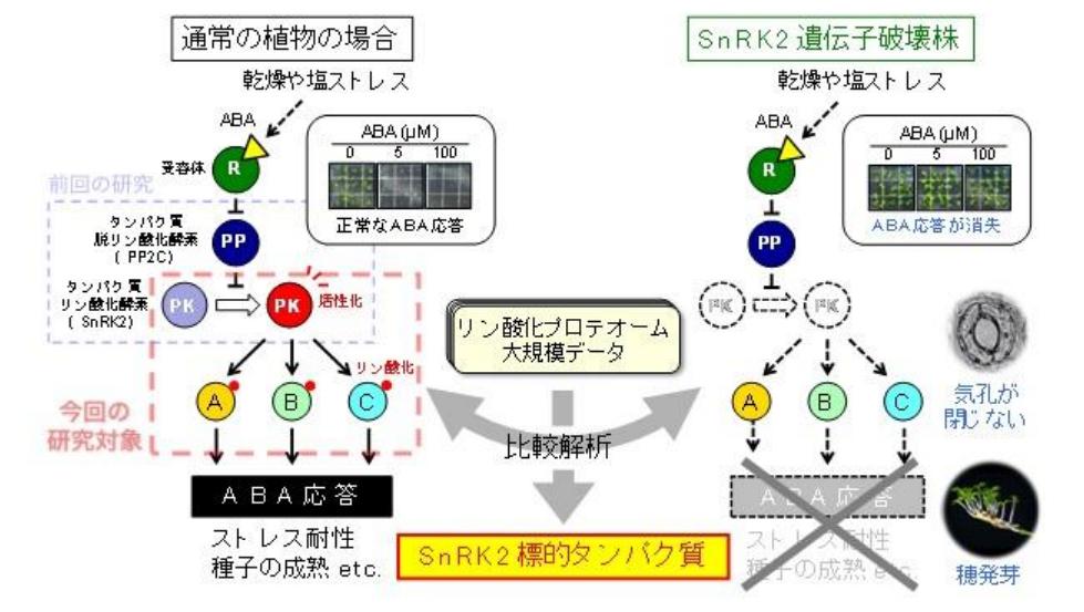 東京農工大、植物ホルモンアブシシン酸の応答経路を大規模に解明