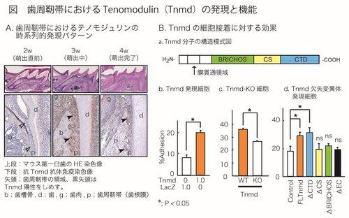 東大、歯周靭帯(歯根膜)の成熟と機能を特徴づける分子を発見