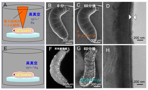 浜松医大など、生きた状態での生物の高解像度電子顕微鏡観察に成功