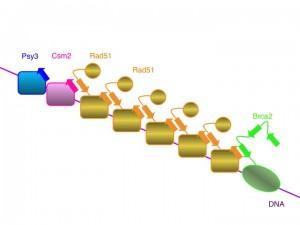 阪大、ゲノム安定化を担う新しいタンパク質複合体の同定に成功