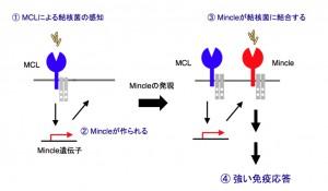 九大、結核菌を感知する新しいセンサーを発見