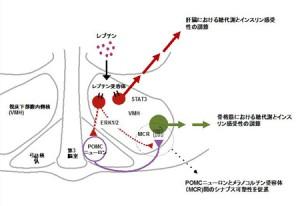生理研、レプチンによる糖代謝調節機構を明らかに