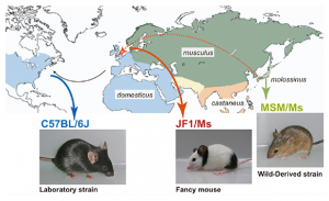 国立遺伝学研究所ら,実験用マウス基準系統の成立史を解明