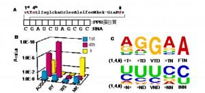 九大と広大、PPR 蛋白質の核酸認識コードの解読に成功