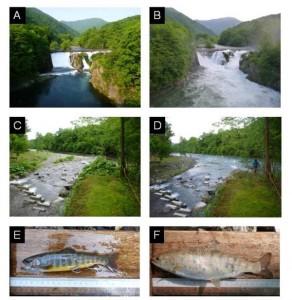 北大、渓流魚は洪水時に支流に逃げ込むことを実証