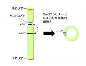 岡山大、植物の人工染色体の創出に成功