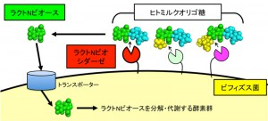 東大、ビフィズス菌が母乳のオリゴ糖を分解する酵素のかたちと反応メカニズムを解明