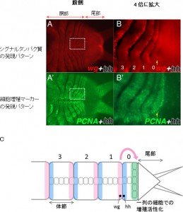理研、ゴカイが持つ無限の再生能力の仕組みを解明