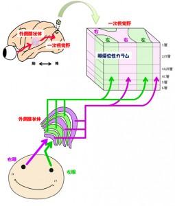 基礎生物研、新世界ザルのマーモセットの大脳皮質での眼優位性カラムの存在を確認
