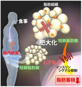 京大、腸内細菌による宿主のエネルギー恒常性維持機構を解明