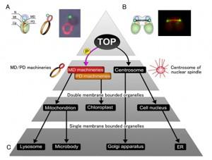 立教大、全細胞小器官の分裂を統御する遺伝子(TOP)発見