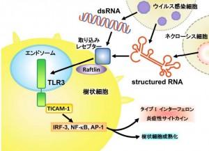 北大、自然免疫によって認識される RNA 構造を解明