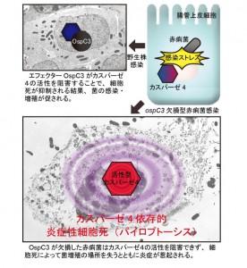 東大、赤痢菌のカスパーゼ-4に対する新規阻害因子を発見