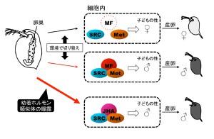 基礎生物研、化学物質がミジンコの性をかく乱する仕組みを解明