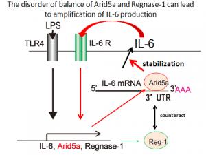 阪大、IL-6の異常産生に関わる分子を発見