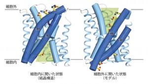 東大、水素イオン-カルシウム交換輸送体の構造基盤を解明